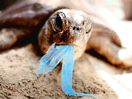 A young turtle on a beach eating plastic.